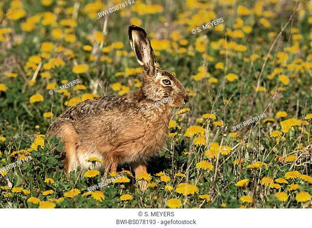 European hare (Lepus europaeus), single animal on a meadow, Austria, Neusiedler See National Park