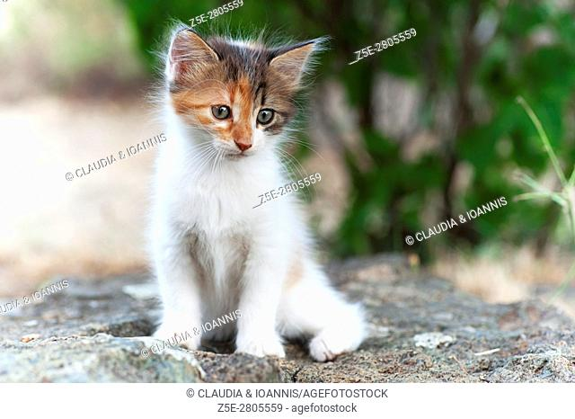 Portrait of a calico kitten sitting on a rock in the garden