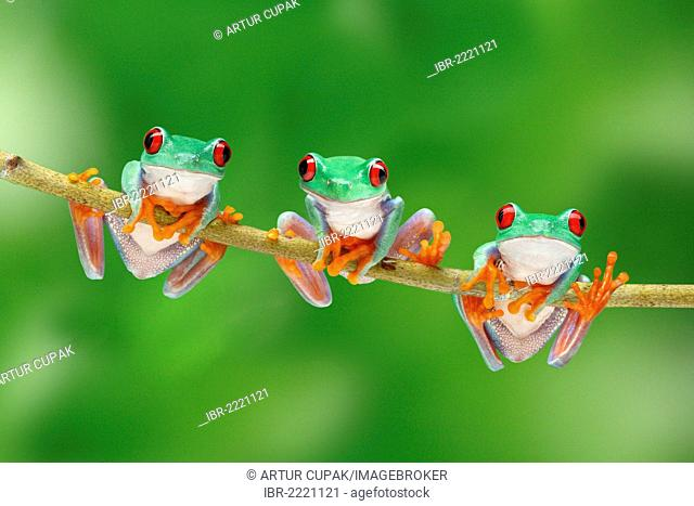 Three Red-eyed Tree Frogs (Agalychnis callidryas) climbing a branch