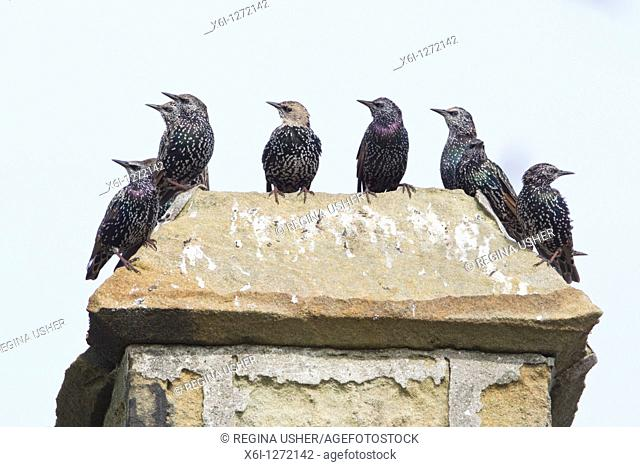 Starling Sternus vulgaris, flock sitting on chimney top, Northumberland, England
