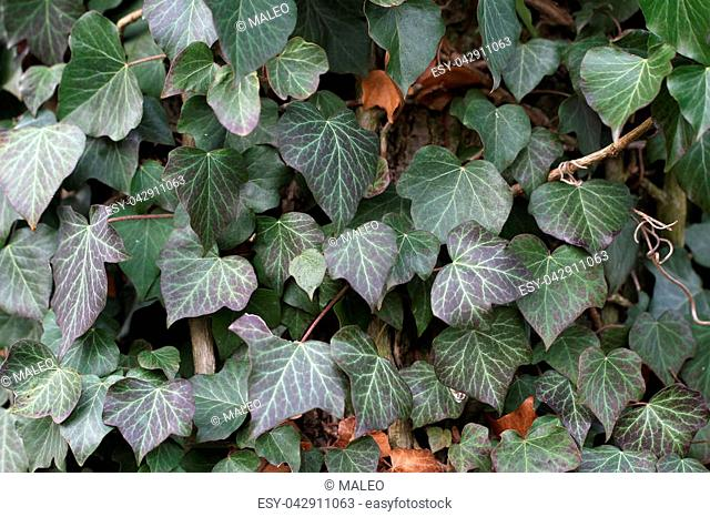 Ivy / Ivy - creeping shrubs clinging to their adventitious roots of the walls, tree trunks, and so on