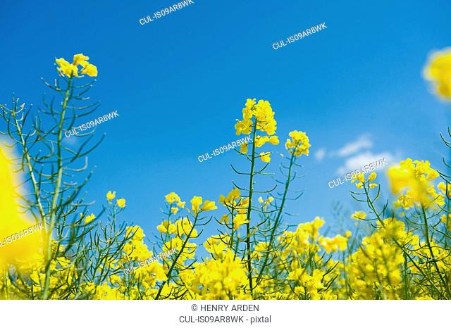 Detail of yellow oil seed rape plants and blue sky