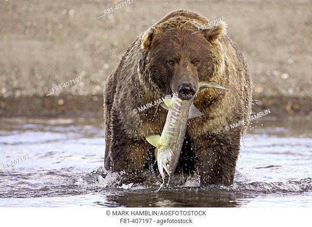 Grizzly Bear (Ursus horribilis), adult male with freshly-caught salmon, Katmai National Park, Alaska. USA