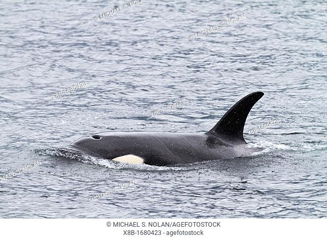 Adult female killer whale Orcinus orca surfacing in Chatham Strait, Southeast Alaska, Pacific Ocean