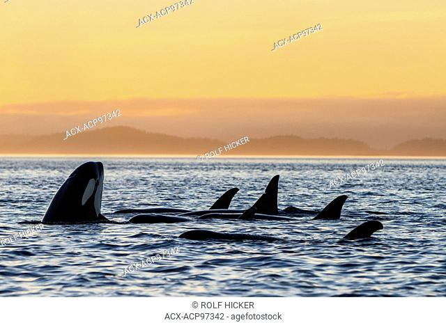 Resting family group of resident killer whales (Orcinus orca) during sunset in Johnstone Strait off Vancouver Island, British Columbia, Canada