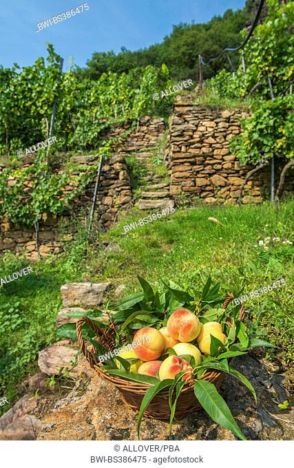 peach (Prunus persica), basket with peaches at a vineyard, Austria, Lower Austria, Wachau, Weissenkirchen
