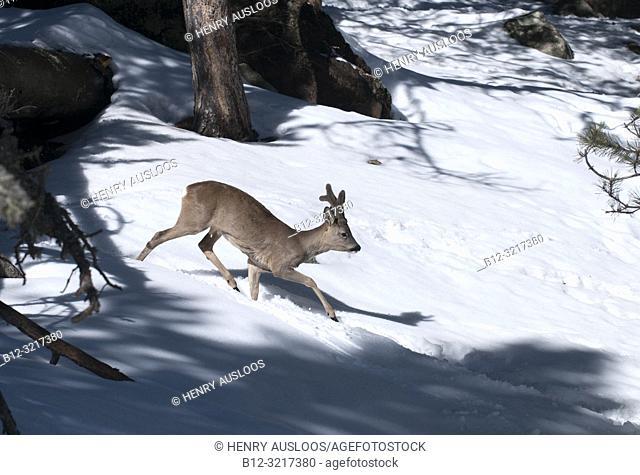Roe deer in velvet (Capreolus capreolus), France