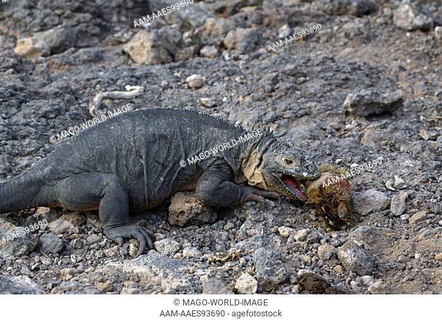 Ecuador, Galápagos Islands, Galápagos, Islas Plazas, Land Iguana (Conolophus subcristatus) feeding on Prickly Pear cactus