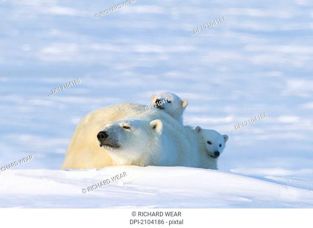 Polar bear ursus maritimus cubs cautiously look over their mother at wapusk national park, manitoba canada