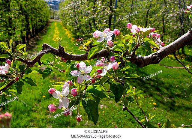 An apple's branches on springtime in bloom, Valtellina, Lombardy