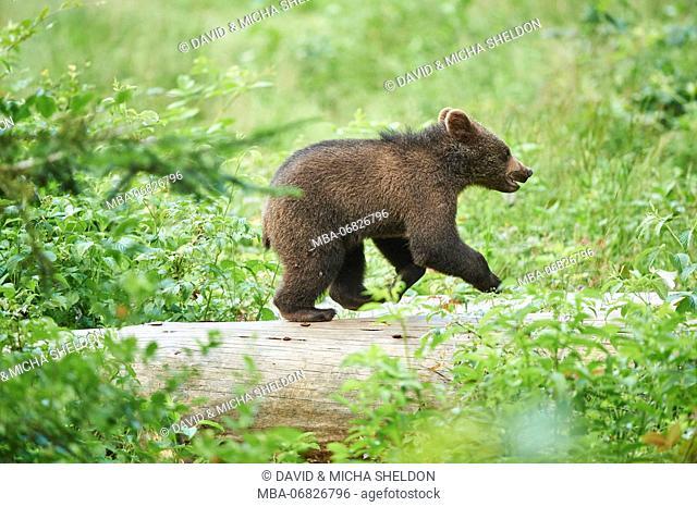 European brown bear, Ursus arctos arctos, young animal, wilderness, sidewise, run, trunk
