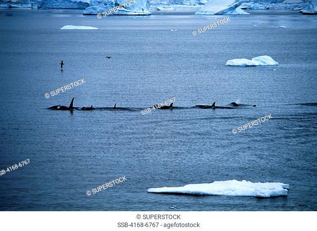 antarctica, killer whales orcas between icefloes