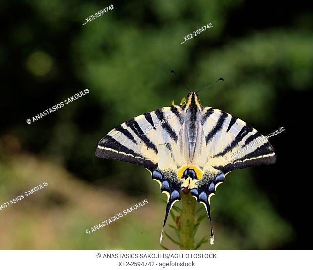 Scarce Swallowtail Iphiclides podalirius, Crete