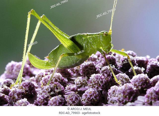 Speckled Bush-cricket Leptophyes punctatissima side