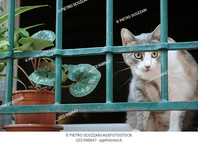 Santarcangelo di Romagna (Rimini, Italy), a cat at a window