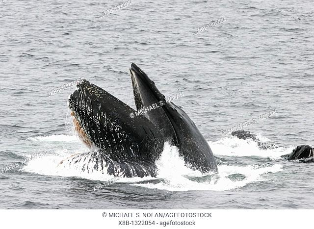Humpback whales Megaptera novaeangliae bubble-net feeding in Southeast Alaska, USA  Pacific Ocean