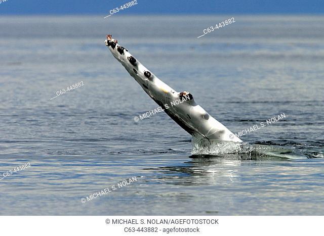 North Pacific Humpback Whale (Megaptera novaeangliae) pectoral fin detail in Southeast Alaska, USA