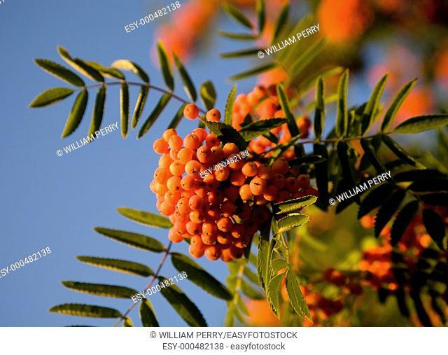 Orange Berries, Pyracantha, Against Blue Sky