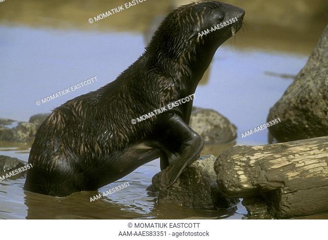 N. Fur Seal Pup in Tidal Pool (Callorhinus ursinus), St Paul Isl., Pribilofs, AK