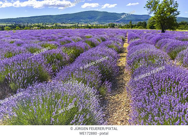 bloomy lavender rows near Sault, Provence, France, lavender field with mountains in background, department Vaucluse, region Provence-Alpes-Côte d'Azur