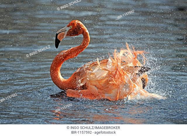 American Flamingo or Caribbean Flamingo (Phoenicopterus ruber ruber), taking a bath in the water