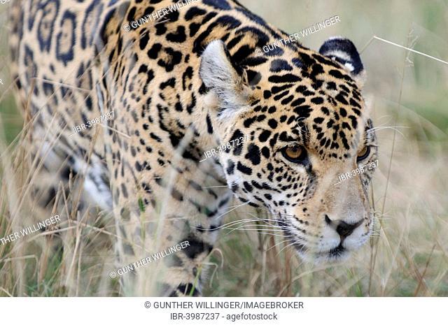Jaguar (Panthera onca), captive, Rhino and Lion Nature Reserve, Krugersdorp, South Africa