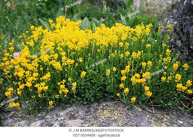 Winged broom (Chamaespartium sagittale or Genista sagittalis) is a perennial herb native to Europe. This photo was taken in Valle de Aran, Lleida Pyrenees