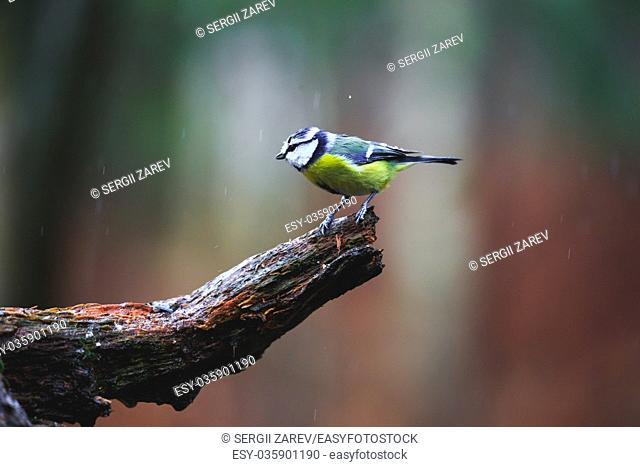 Close-up of a Blue Tit Bird sitting on a stump in a rainy spring forest