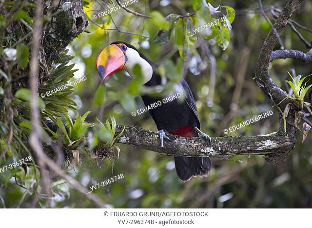 Beautiful specimen of Toucan toco (Ramphastos toco) drinking from the bromeliads in the Iguazú National Park and Reserve - Iguazú Falls. Argentina