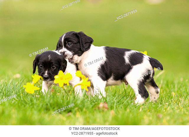 Two English Springer Spaniel puppies at 6 weeks old playing and showing movement