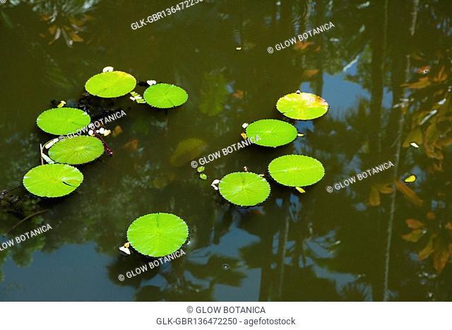 Lily pads in a pond, Hawaii Tropical Botanical Garden, Hilo, Big Island, Hawaii, USA