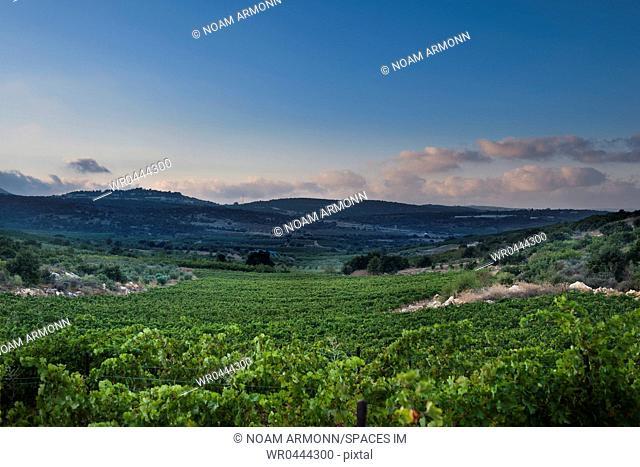 Vineyard in the Galilee