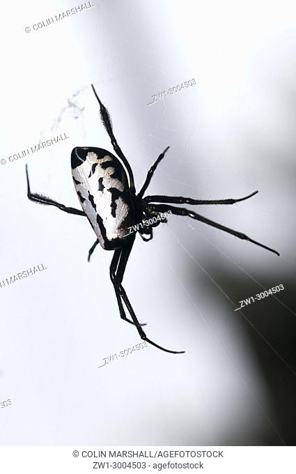 Pear-Shaped Leucauge Spider (Opadometa fastigata, Tetragnathidae Family) (Long-jawed Orb Weaver Spider), on web, Klungkung, Bali, Indonesia