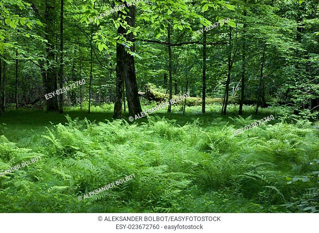 Shady deciduous stand of Bialowieza Forest in springtime with fresh green grassy bottom and ferns,Bialowieza Forest,Poland,Europe