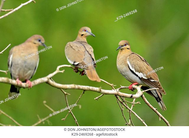 White-winged Dove (Zenaida asiatica), Quinta Mazatlan, McAllen, Texas, USA