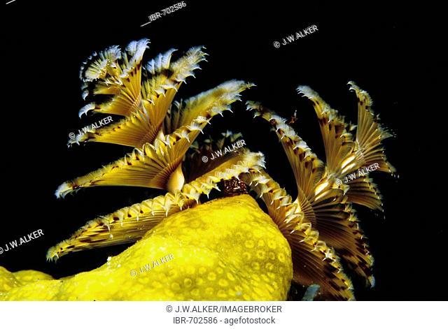 Christmas Tree Worm (Spirobranchus giganteus), Caribbean, Americas