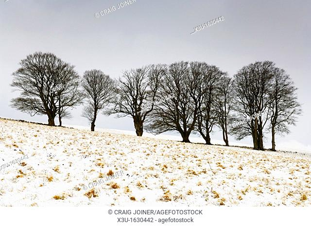 Beech trees stand in a field on North Hill in fresh snow near Priddy on the Mendip Hills, Somerset on an overcast winter's morning