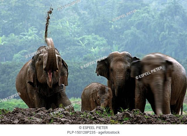 Asian elephants (Elephas maximus), herd with calf taking mud bath in the rain