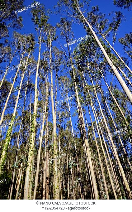 Eucalyptus trees in forests of Torre, Ribadesella
