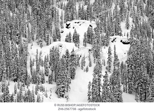 Fresh powder on pines, Ansel Adams Wilderness, Sierra Nevada Mountains, California