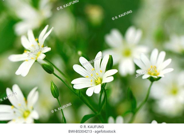 easterbell starwort, greater stitchwort (Stellaria holostea), flowers, Germany