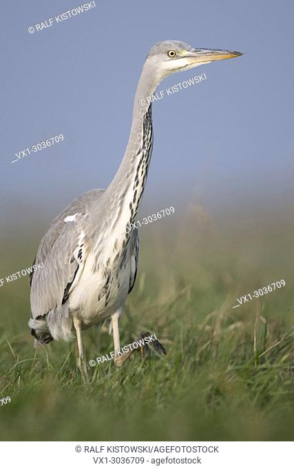 Grey Heron / Graureiher ( Ardea cinerea ), slowly striding through high grass of a meadow, watching around attentively, close frontal side view, Europe