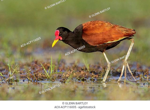 Wattled Jacana (Jacana jacana) perched on the ground in the Pantanal region of Brazil
