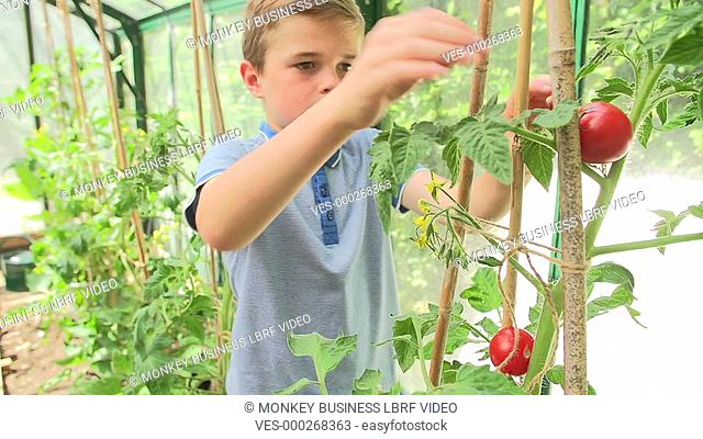 Children picking ripe tomatoes from plants growing in greenhouse before putting them in basket. Shot on Sony FS700 in PAL format at a frame rate of 25fps