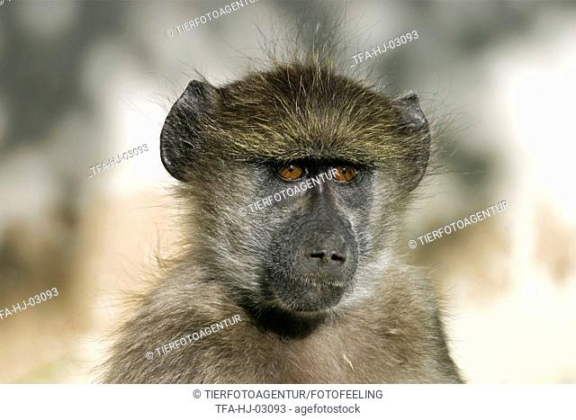 yellow baboon portrait