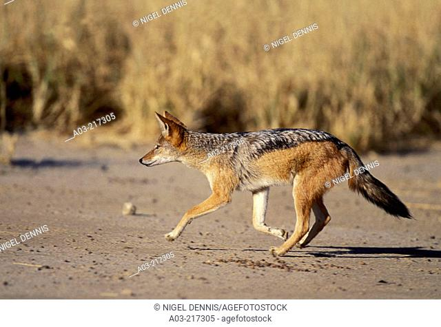 Blackbacked Jackal (Canis mesomelas), hunting. Kgalagadi Transfrontier Park (formerly Kalahari-Gemsbok National Park). South Africa