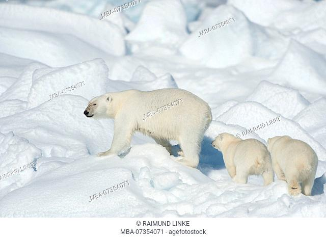 Polar Bear, Ursus maritimus, Mother with Two Cubs, North East Greenland Coast, Greenland, Arctic