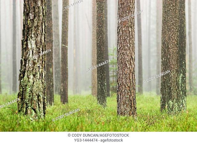 Foggy forest near Auerbach, Germany