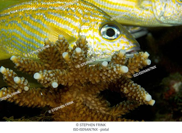 Staghorn coral and French grunt