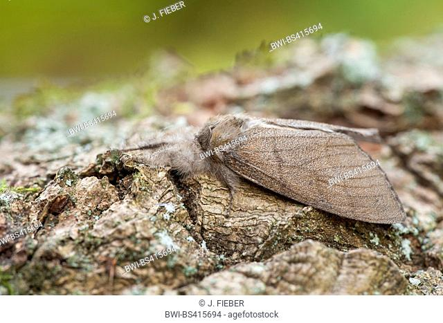 Pale tussock, Red-tail moth (Dasychira pudibunda, Olene pudibunda, Calliteara pudibunda, Elkneria pudibunda), on bark, Germany